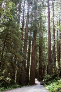 tall redwood trees next to road