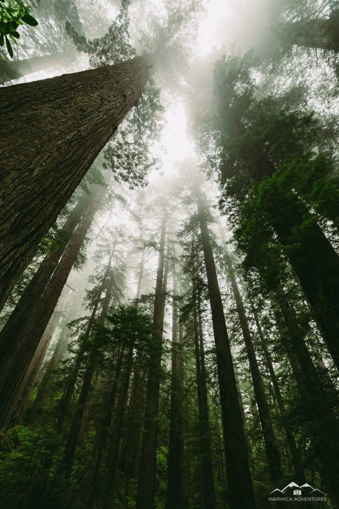 tall redwood trees with foggy sky